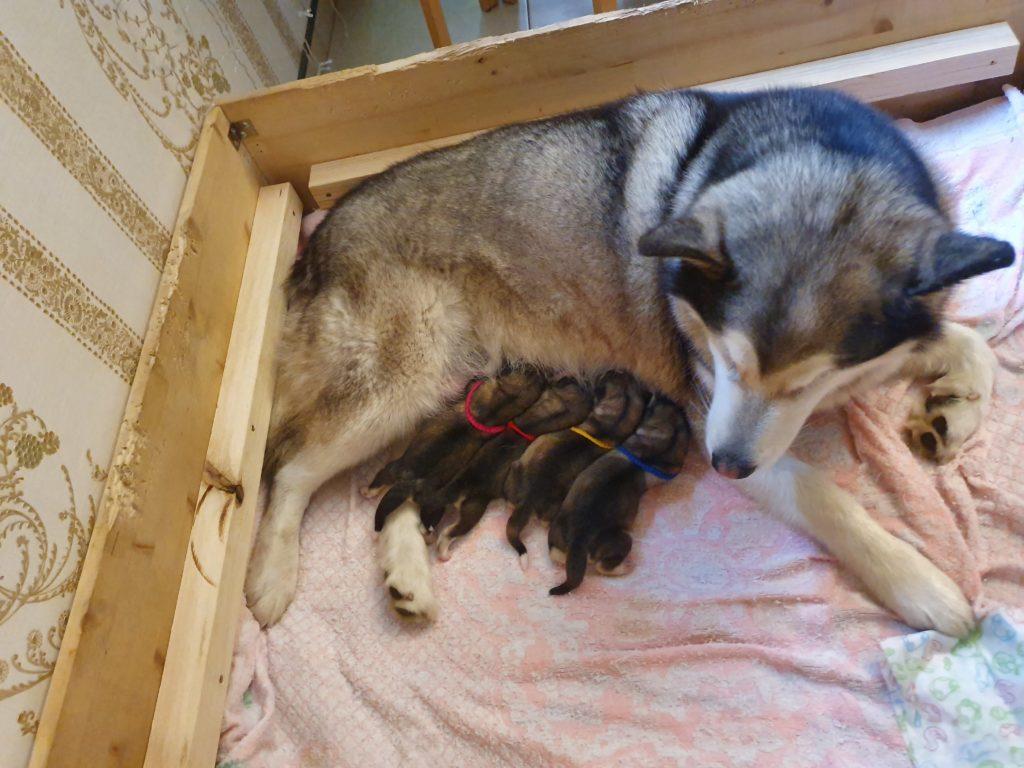 щенки маламута сосут молоко матери