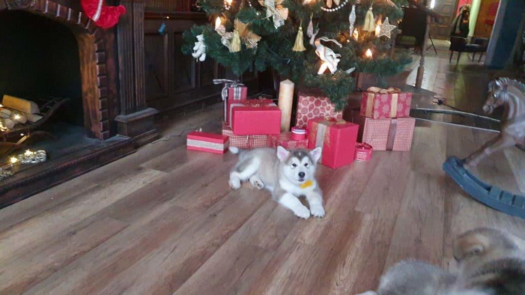 Харди щенок под елкой