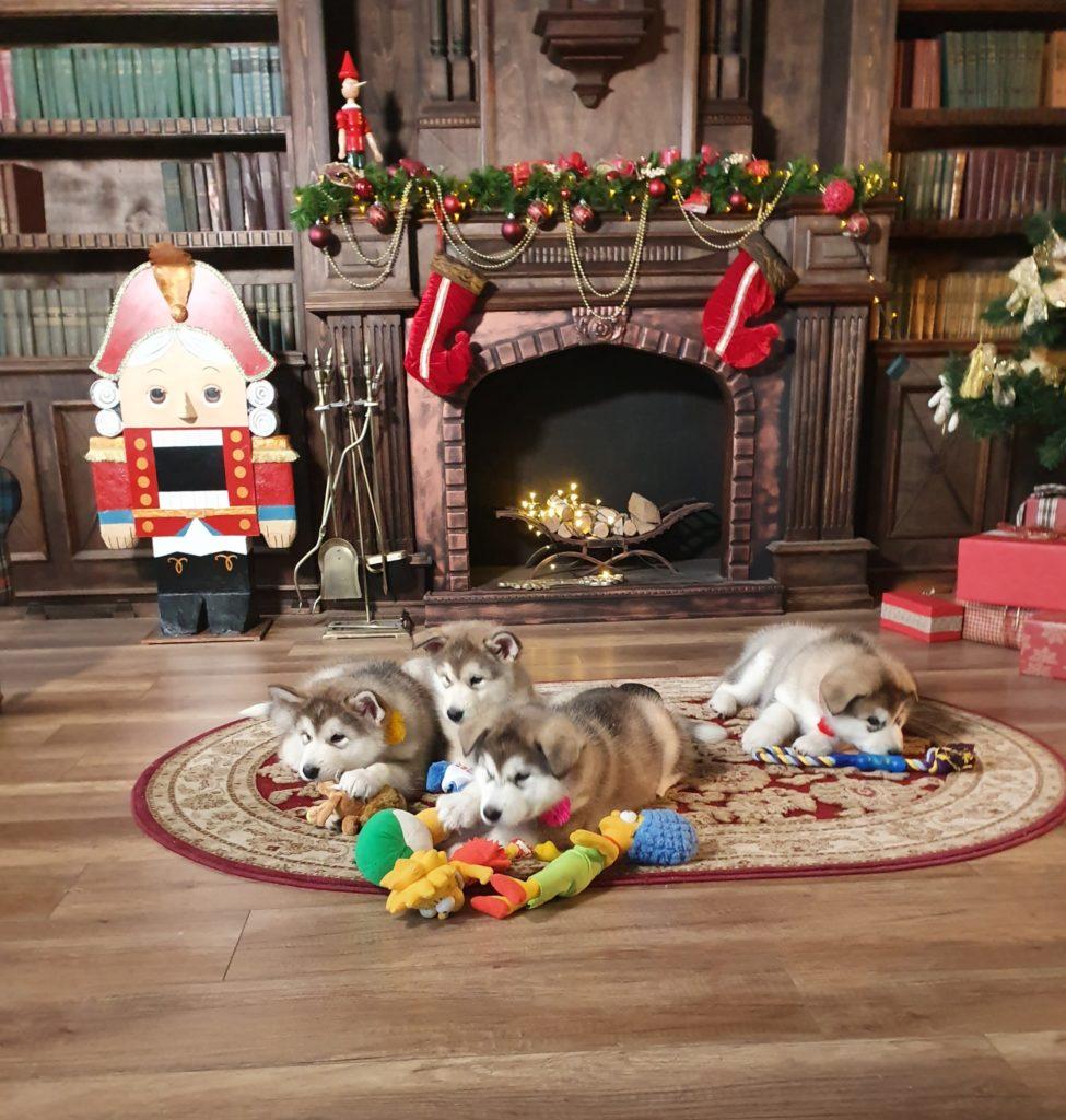 4 щенка маламута у камина