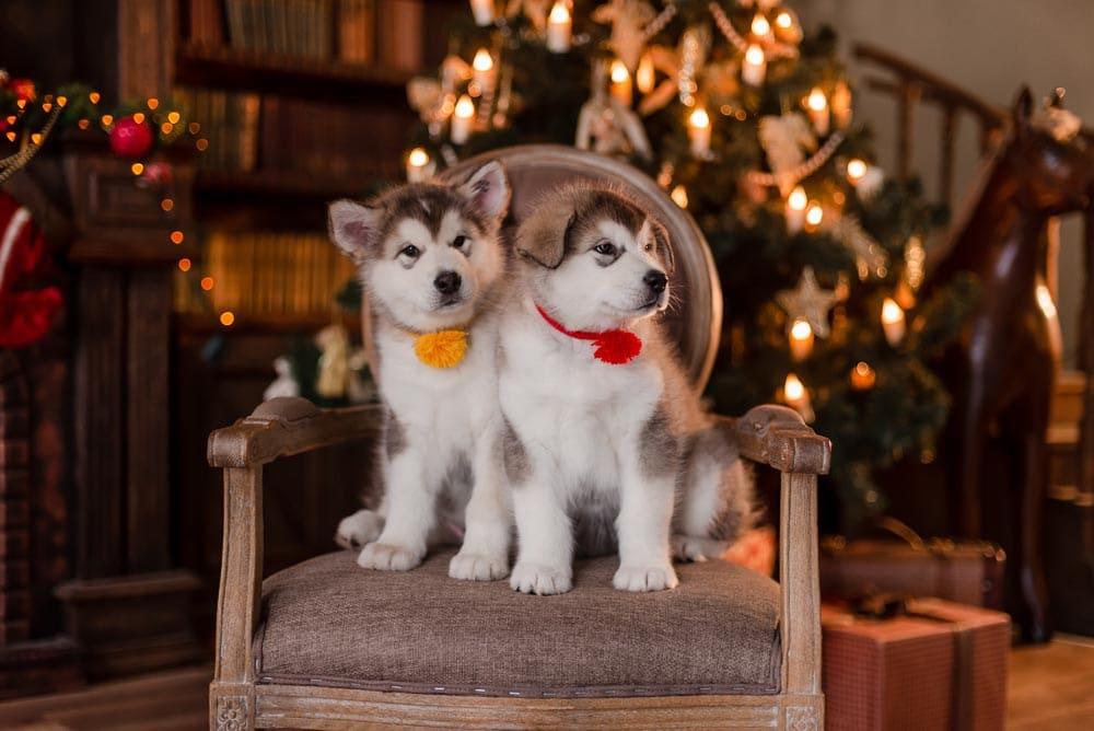 аляскинские маламуты фотосессия декабрь 2019