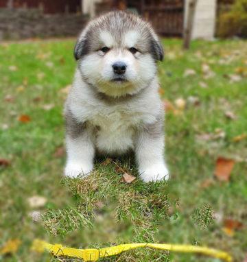 Дарчи щенок маламута 1 месяц и 9 дней