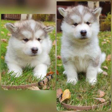 Дейзи щенок маламута 1 месяц