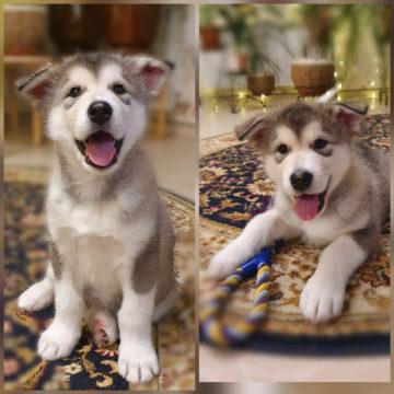 Дастин щенок маламута 26 ноября 2020
